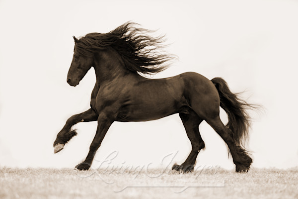 Friesian Stallion's Gallop In Sepia Art | Living Images by Carol Walker, LLC