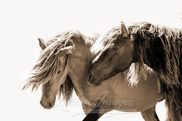 Two Sable Island Stallions Ix Sepia Art | Living Images by Carol Walker, LLC