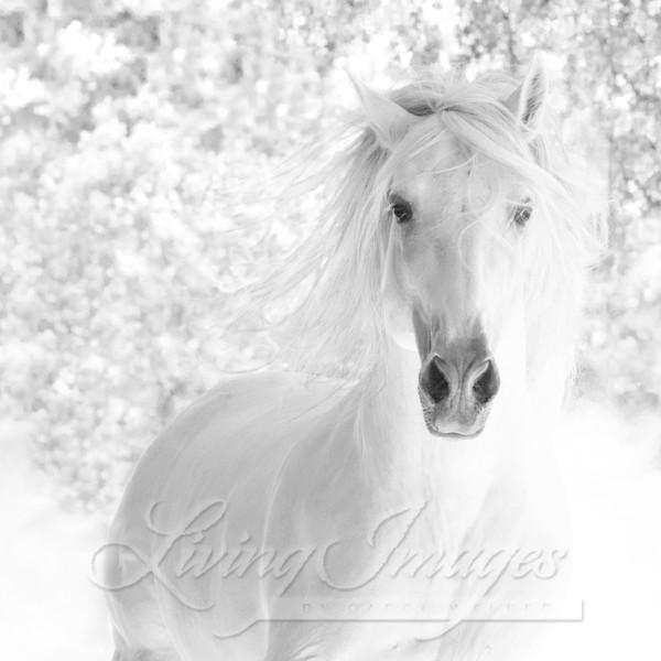 White Stallion Runs In The Dust Art | Living Images by Carol Walker, LLC