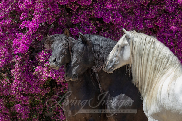 Three Andalusian Stallions And The Flowers Art | Living Images by Carol Walker, LLC
