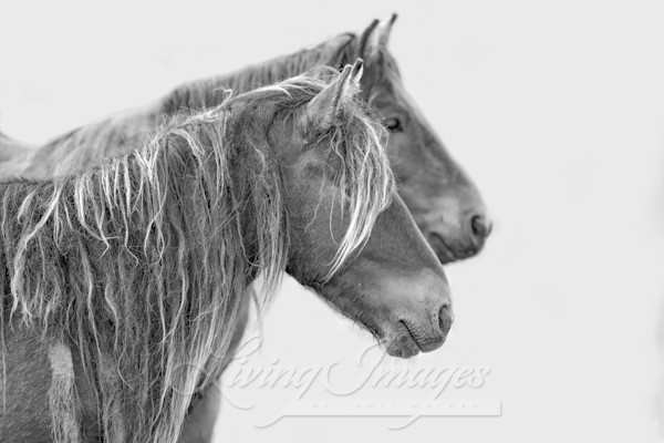 Two Young Sable Island Bachelor Stallions Art | Living Images by Carol Walker, LLC
