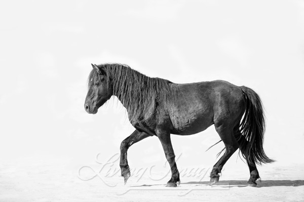 Sable Island Stallion Walks On The Beach Art | Living Images by Carol Walker, LLC