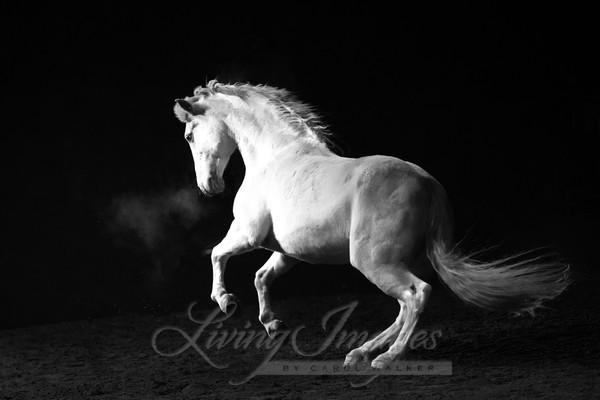 White Stallion In The Dark Art | Living Images by Carol Walker, LLC