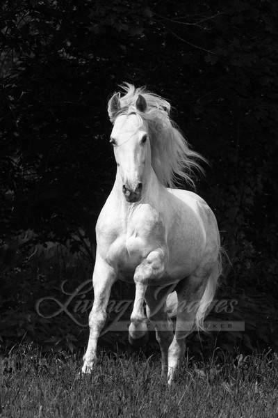 The White Stallion In The Forest Art | Living Images by Carol Walker, LLC