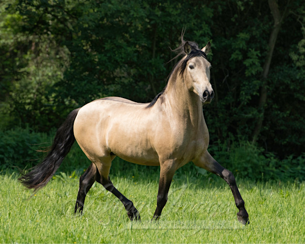 The Buckskin Stallion Trots Art | Living Images by Carol Walker, LLC