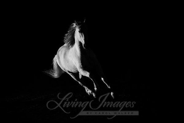 The White Stallion In The Dark Iii Art | Living Images by Carol Walker, LLC