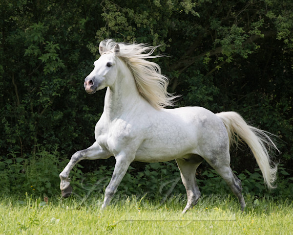 The White Stallion In The Forest Ii Art | Living Images by Carol Walker, LLC