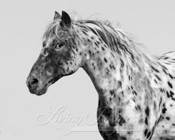Leopard Appaloosa Running Art | Living Images by Carol Walker, LLC