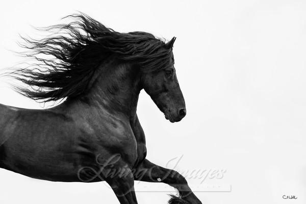 Black Friesian Runs 40x60 Art | Living Images by Carol Walker, LLC
