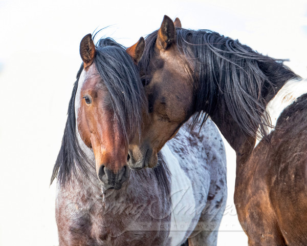 Two Wild Pinto Brothers Art | Living Images by Carol Walker, LLC
