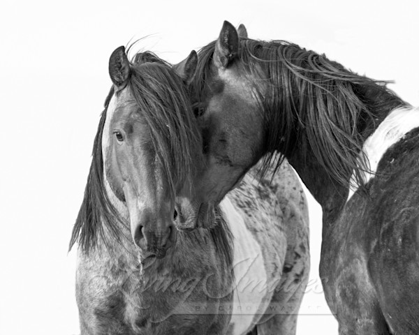 Two Wild Pinto Brothers Ii Art | Living Images by Carol Walker, LLC