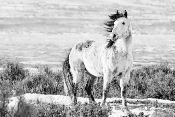Wild Winter Stallion Art | Living Images by Carol Walker, LLC