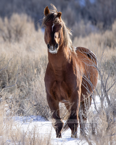 Wild Warrior Stallion In Winter Art | Living Images by Carol Walker, LLC
