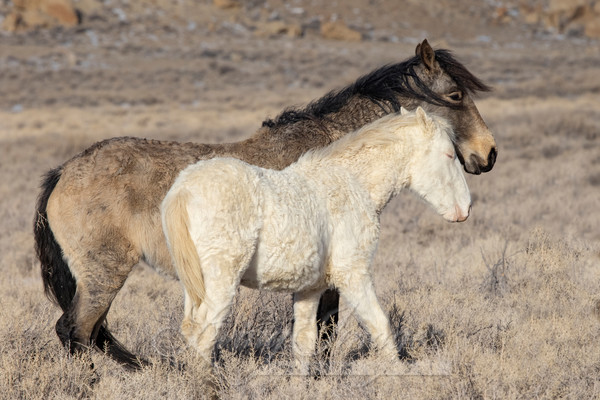 Wild Curly Mare And Foal Art | Living Images by Carol Walker, LLC