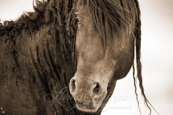 Wild Black Curly Stallion Turns Ii Sepia Art | Living Images by Carol Walker, LLC