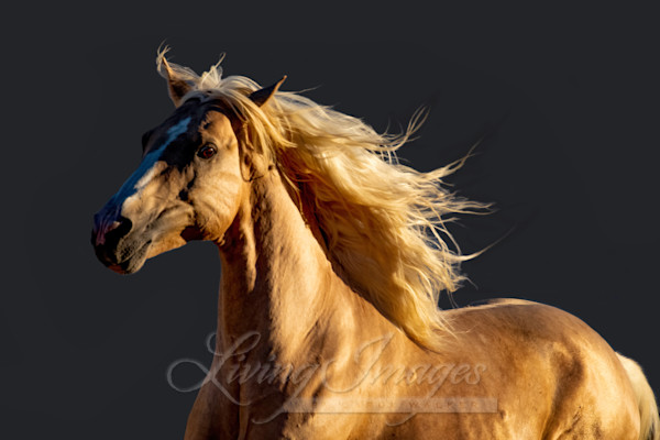 Golden Stallion Runs Art | Living Images by Carol Walker, LLC