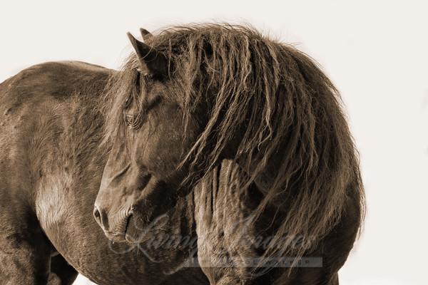 Black Sable Island Stallion Turns His Head In Sepia Art | Living Images by Carol Walker, LLC