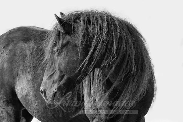 Black Sable Island Stallion Turns His Head Art | Living Images by Carol Walker, LLC