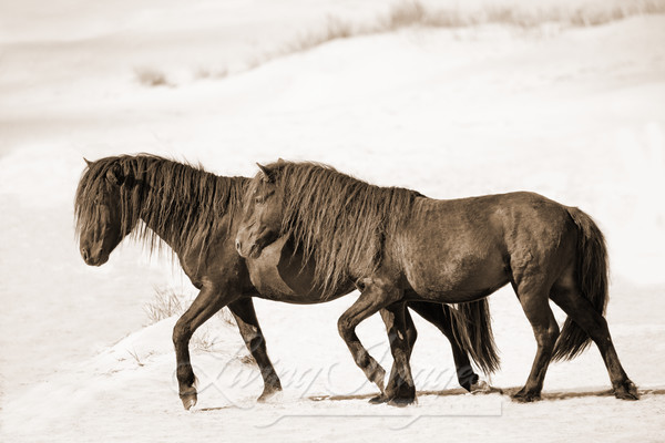 Two Sable Island Stallions Walk On The Beach In Sepia Art | Living Images by Carol Walker, LLC