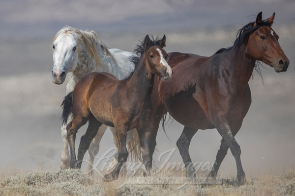 Wild Stallion In Charge Art | Living Images by Carol Walker, LLC