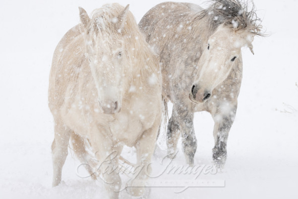 Two Mustangs Play In The Snow Art | Living Images by Carol Walker, LLC