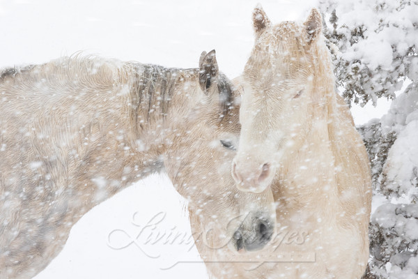 Two Mustangs Come Together In The Snow Art | Living Images by Carol Walker, LLC