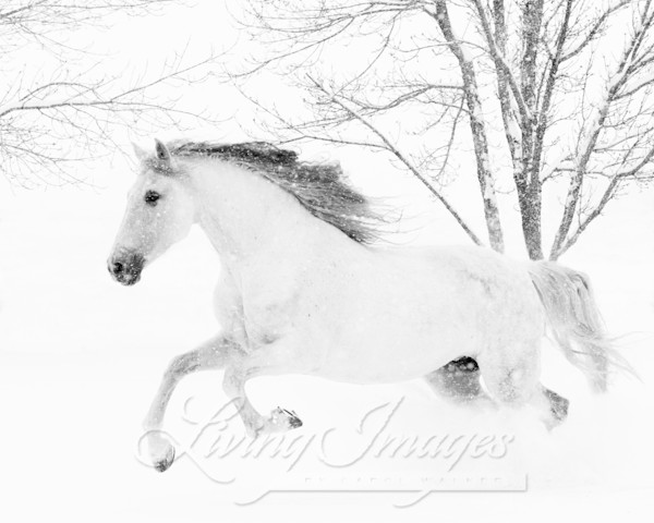 White Mare Leaps In The Snow Art | Living Images by Carol Walker, LLC