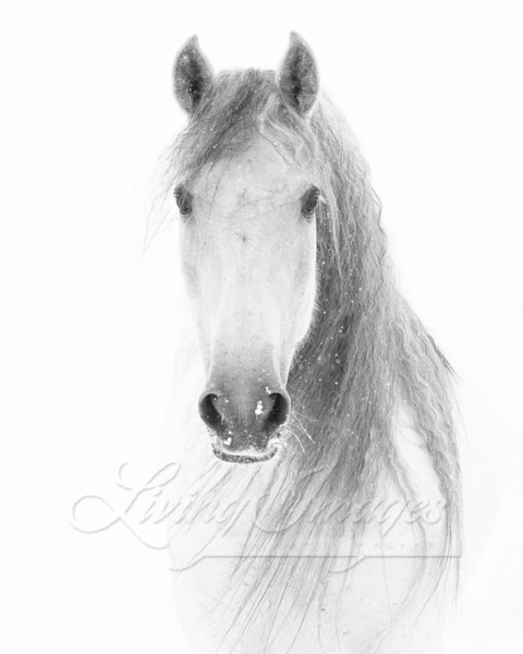 White Snowy Mare Comes Close Art | Living Images by Carol Walker, LLC