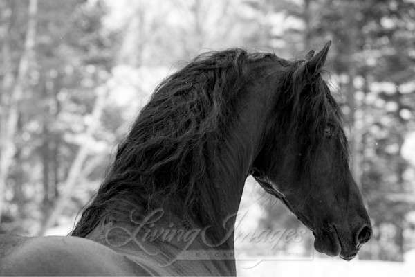 Friesian Stallion In The Snow Ii Art | Living Images by Carol Walker, LLC