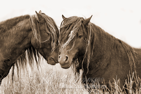 Two Sable Island Bachelor Stallions In Sepia Art | Living Images by Carol Walker, LLC