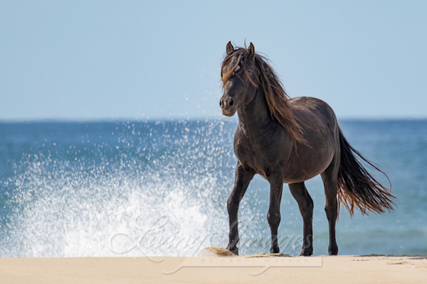 Sable Island Stallion And The Waves Art | Living Images by Carol Walker, LLC