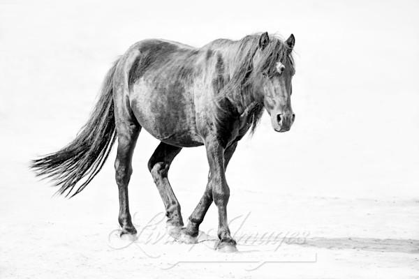 Sable Island Stallion Walks On The Beach Ii Art | Living Images by Carol Walker, LLC
