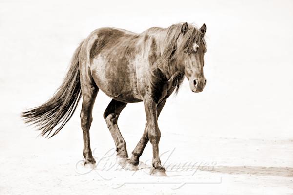 Sable Island Stallion Walks On The Beach Ii In Sepia Art | Living Images by Carol Walker, LLC