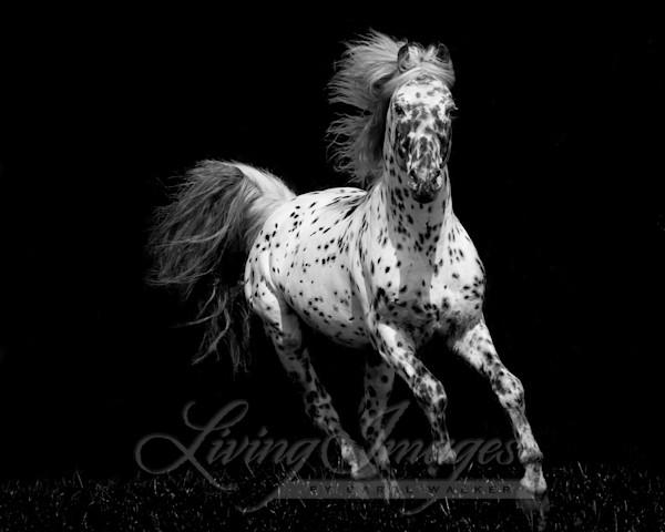 Spotted Stallion Running Art | Living Images by Carol Walker, LLC