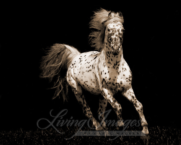 Spotted Stallion Running In Sepia Art | Living Images by Carol Walker, LLC