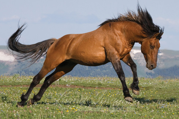 wild horse, red dun stallion in Pryor Mountains, MT leaping