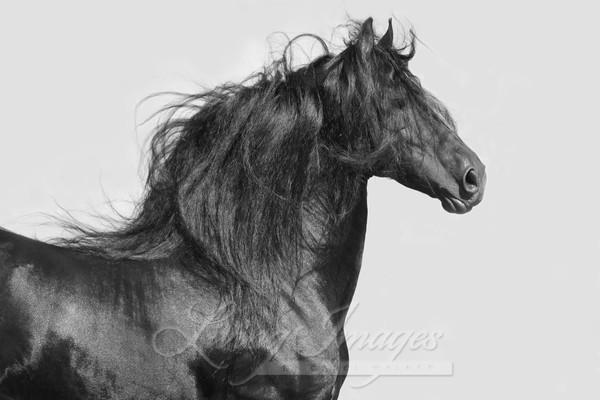 Black Friesian's Portrait Ii Art | Living Images by Carol Walker, LLC