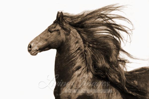 Ojai, California, Black Friesian stallion moving
