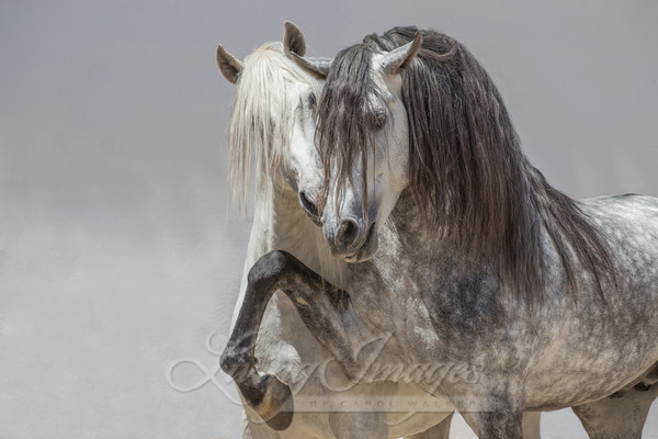 Two Gray Andalusian Stallions Art | Living Images by Carol Walker, LLC