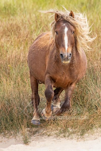 Sorrel Sable Island Stallion Runs Art | Living Images by Carol Walker, LLC