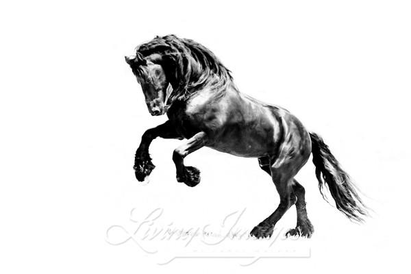 Ojai, CA, purebred horse, black Friesian stallion rearing