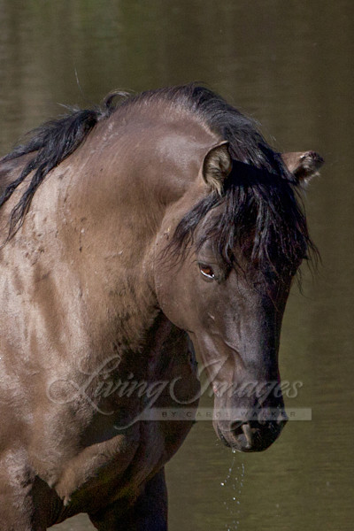 Wild Stallion In The Water Art | Living Images by Carol Walker, LLC