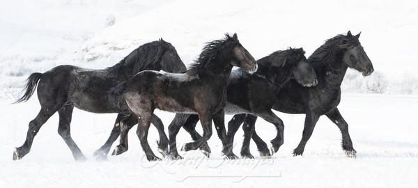 Four Black Percheron Stallions In The Snow Ii Art | Living Images by Carol Walker, LLC