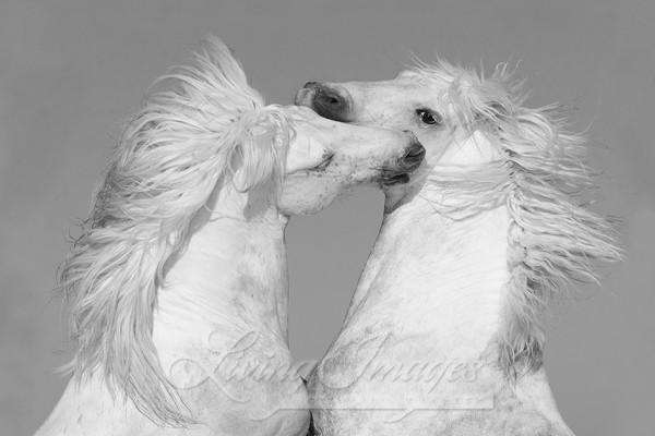 Two White Stallions Rearing Art | Living Images by Carol Walker, LLC