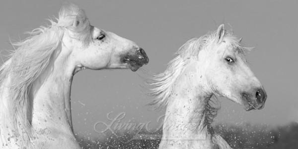 Two Playful White Stallions Art | Living Images by Carol Walker, LLC