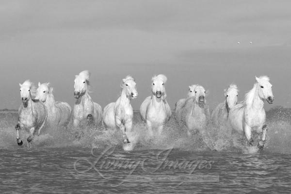 Eight White Horses Running Art | Living Images by Carol Walker, LLC