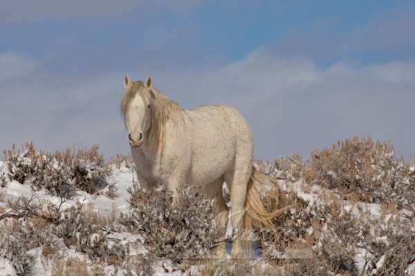 Wild Winter Stallion Stands Art | Living Images by Carol Walker, LLC