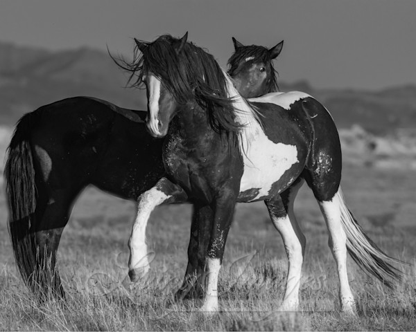 wild horse, mustang in McCullough Peaks, WY - black pinto stallion and black stallion