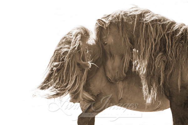 Two Sable Island Stallions Xi In Sepia Art | Living Images by Carol Walker, LLC