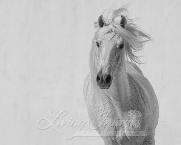 The White Stallion Runs Up Art | Living Images by Carol Walker, LLC